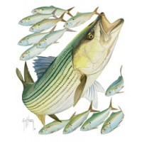 Aftco T-Shirt Striped Bass